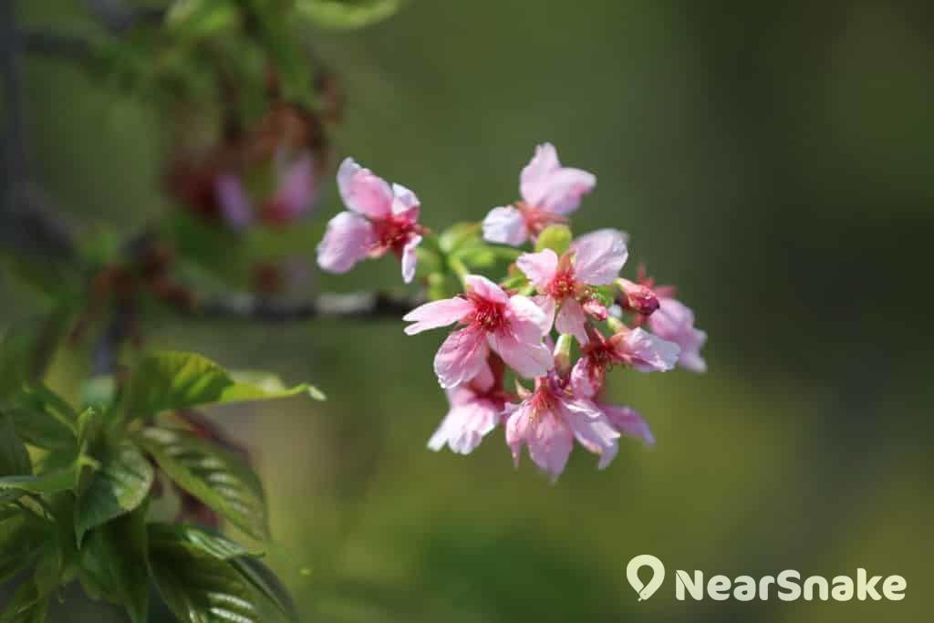 逸夫書院「櫻花園」內種植的河津櫻。