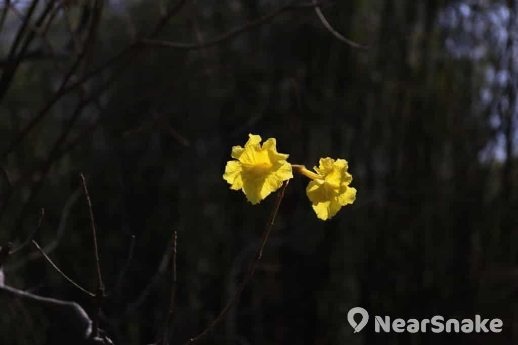 黃花風鈴木為巴西國花,色鮮黃,漏斗形,像風鈴,花緣皺曲,兩側對稱。