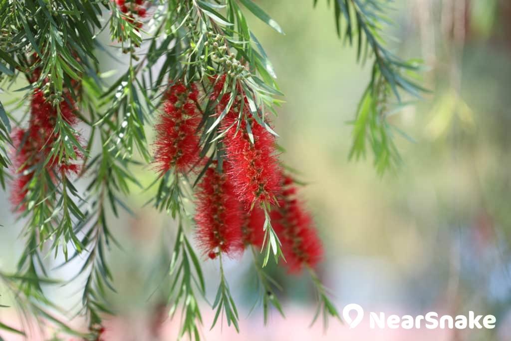 串錢柳-小枝下垂如柳,紅色細小的花朵密集,狀似洗瓶子的圓擦,因此英文名為Tall Bottle-brush。