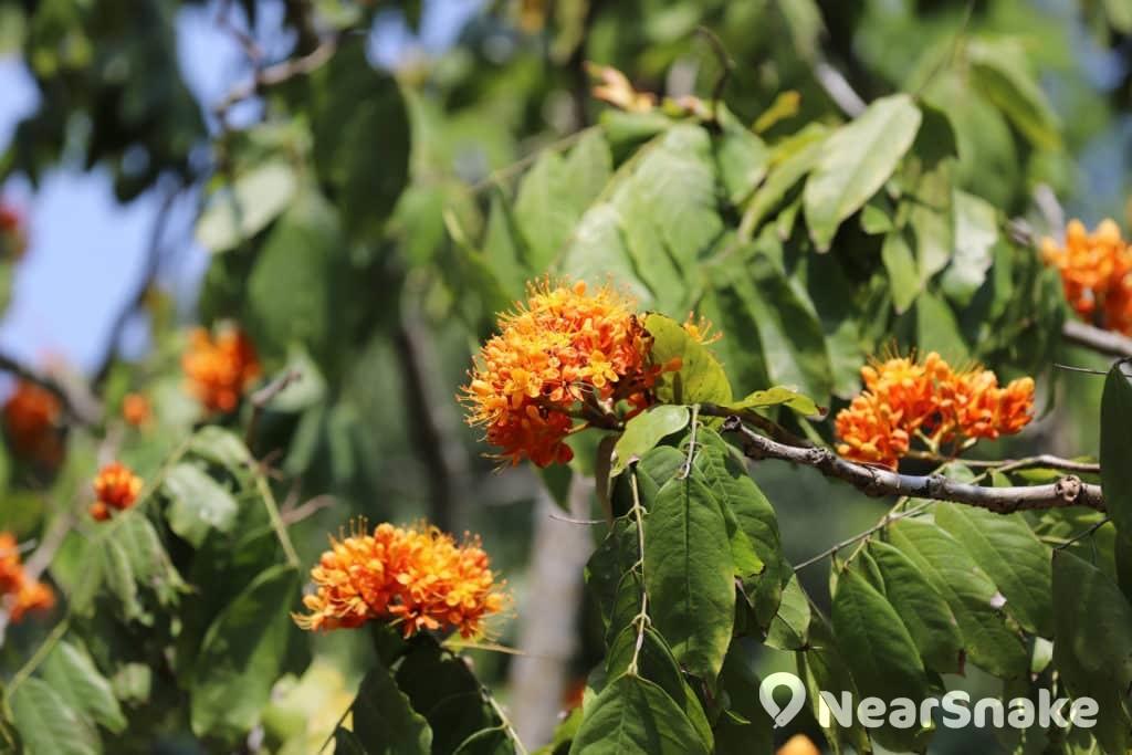 無憂花-原生於雲南、廣西,橙黃色花朵大叢密集枝頭,盛開時遠看像樹頂的火焰,因此又名火焰花。