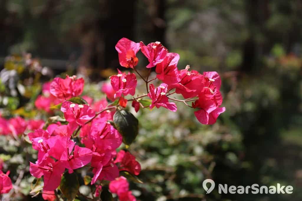 簕杜鵑又名寶巾花,自南美洲引入的紫紅色花卉,紅色部份實為它的苞片,小花藏於其中。
