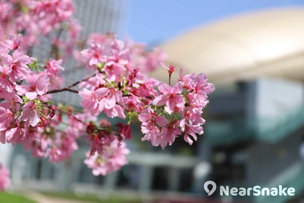 白石角科學園內栽植約 10 株山櫻花樹,構成 Sakura Bloom,以地標金蛋(高錕會議中心)作背景,與櫻花的自然氣息形成強烈反差,拍出來的櫻花照別有感覺。