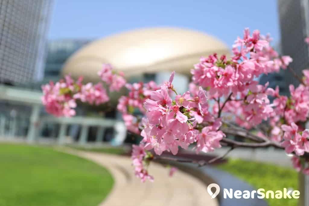 科學園櫻花 sakura bloom