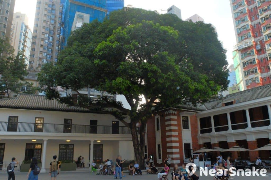 大館內有一棵樹齡 60 年的芒果樹,每 2、3 年結果一次,相傳每次結果都有人事升遷或發生重大事件。