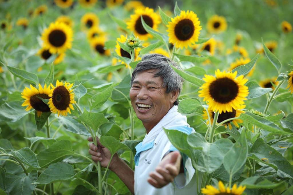 信芯園農場主人梁日信再次開放向日葵花田參觀。