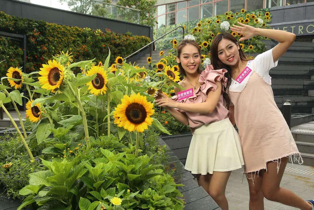 新都會廣場色彩夏日花祭: 逾百朵黃燦燦向日葵向陽而開,熱烈地綻放著金黃色的花瓣