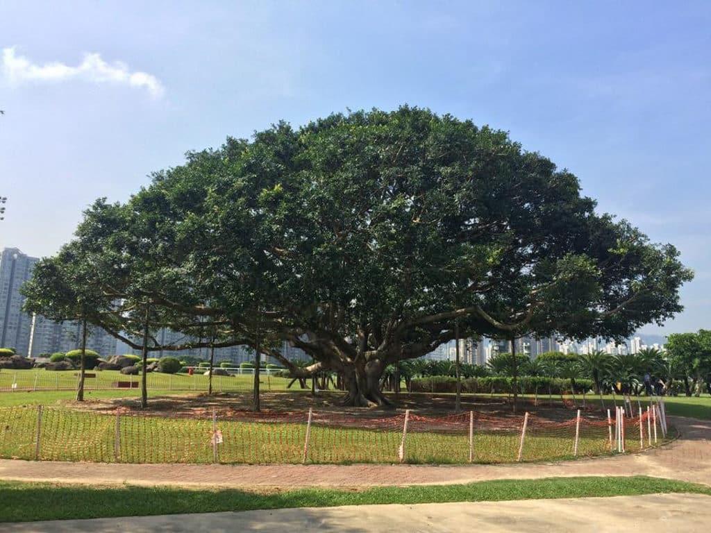 彭福公園內這棵細葉榕曾是打卡勝地。(圖片來源:火炭之有 Fotanian 臉書群組)