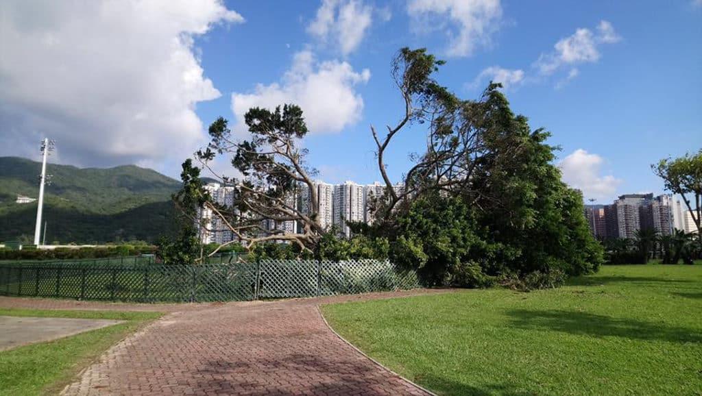 細葉榕被颱風「山竹」吹至斷開兩半。 (圖片來源:火炭之有 Fotanian 臉書群組)