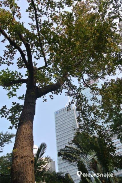 遮打花園內栽種了楓香樹,可惜筆者拍攝時天氣仍未夠冷,未能看到紅葉盛放。