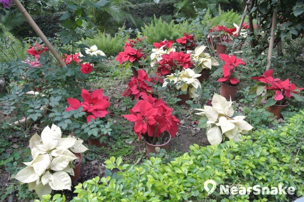 除杉天巨木之外,遮打花園內還有不少鮮艷的花卉值得大家駐足欣賞。