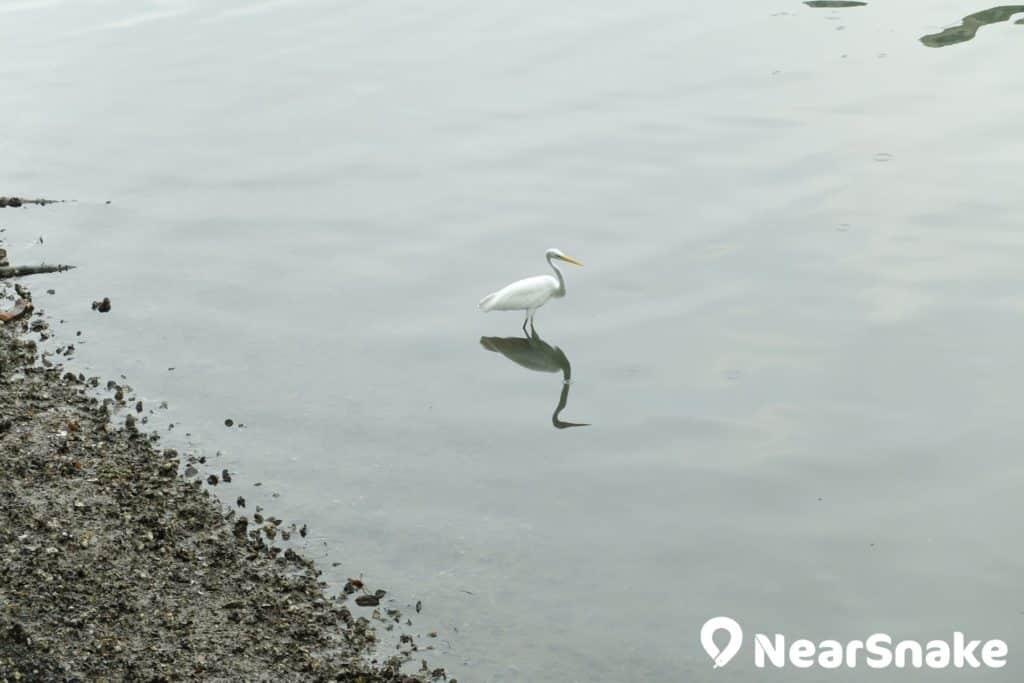 盡管沙田城門河污染問題仍未完全解決,但對野生白鷺來說仍具有一定吸引力。