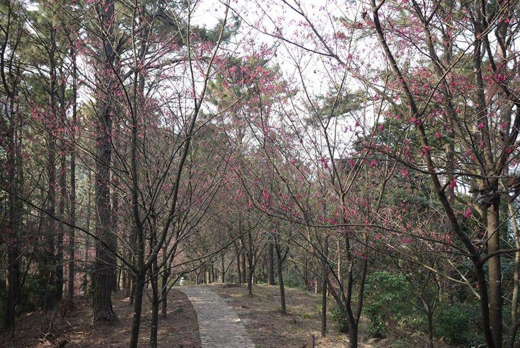 嘉道理農場櫻花2019 嘉道理農場的鐘花櫻桃開始踏入盛放期。