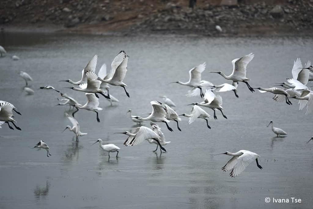 觀鳥馬拉松2019 觀鳥馬拉松2019所籌得款項全數用作保育瀕危鳥類。
