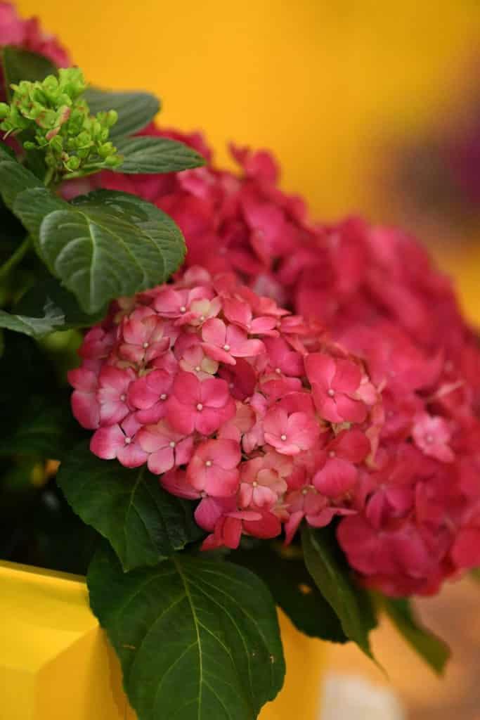時代廣場:迎春簪花展覽 繡球花