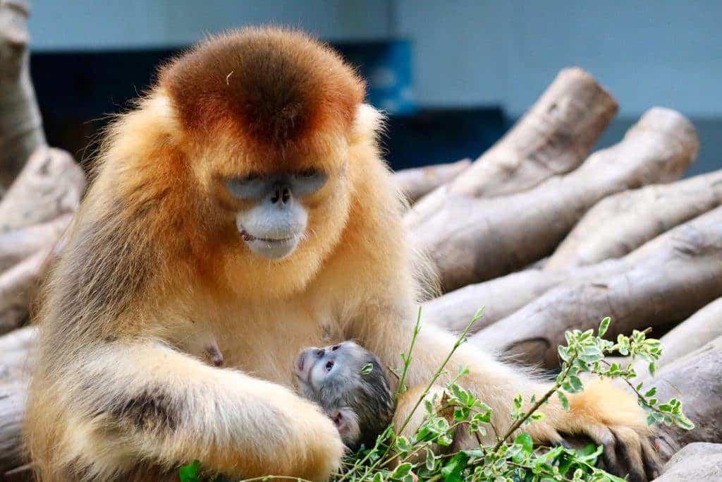 海洋公園誕生的第二隻川金絲猴寶寶即將於 4 月 29 日滿月