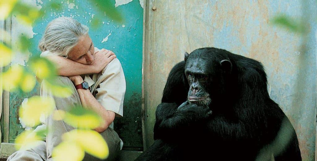 科學館:珍古德的叢林啟迪展覽 珍古德博士在研究初期,花了多年時間觀察黑猩猩在原生棲息地的行為,了解牠們的生活特性。