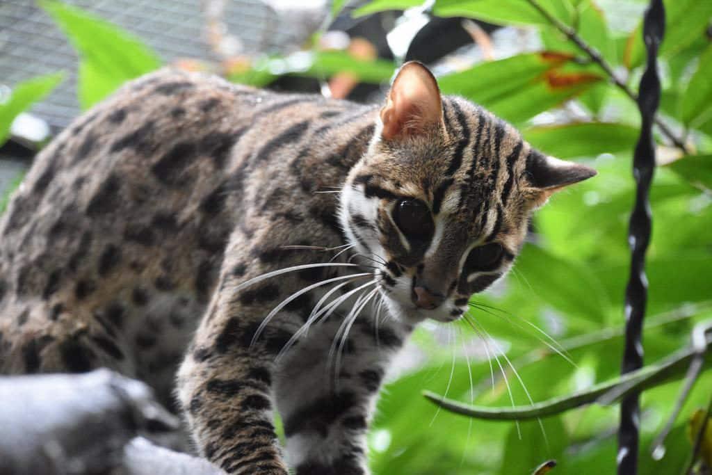嘉道理農場:夏夜生態行 豹貓